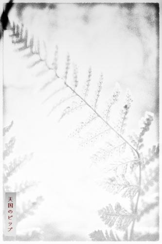 single fern